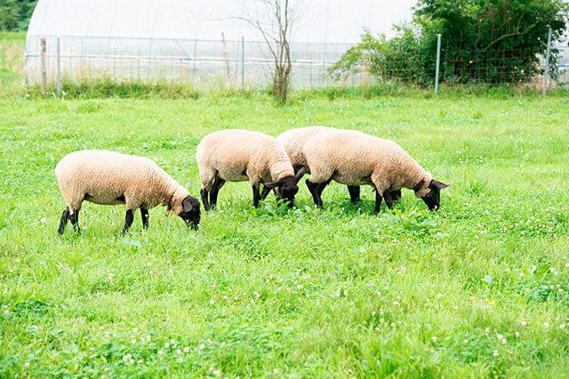 日本 [岩手] 休耕地に放つ羊が、衣食住を彩る。 岩手県「県産めん羊を ...
