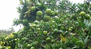 liguria_chinotto_202006