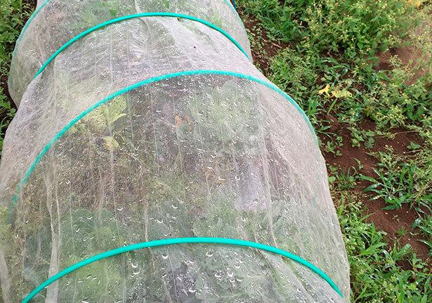 基本的には無農薬栽培。慣行栽培の周囲の畑を避けた虫が、どうしても寄ってきてしまう。キャベツには網を張り、蝶が卵を生みつけるのを防ぎます。