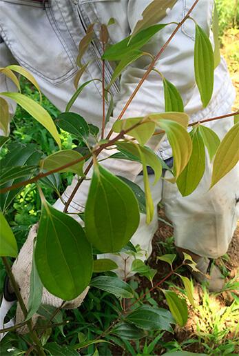 これは肉桂の葉。ニッキ、いわゆるシナモンですね。通常はこの樹皮を乾燥させて用いますが、フレッシュな葉も同じ匂いがします。