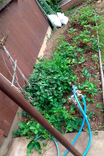 イチゴ。2014年に苗を定植。2015年分の収穫は終了。来年に向けて追肥するところ。