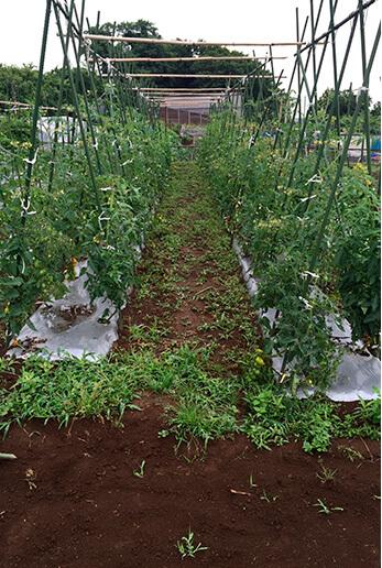 トマトはマルチを張って苗を植え付け。余分な水分の浸透を防ぎます。このような形で支柱立てをし、中央の茎をしっかり太く、上へと育て伸ばしてゆくために、脇芽をまめに摘むのがポイント。