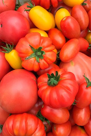 この日に収穫したトマト。アイコ、桃太郎など多品種。中央のボコボコしたのがイタリア系トマト。