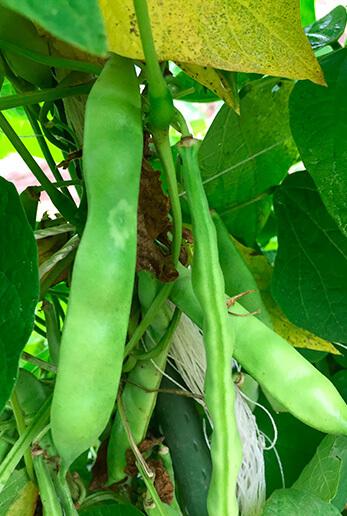 ウズラ豆の青いさや。通常はここからさらに完熟させてさやから出し、乾燥させますが、さやごと茹でて食べても美味。