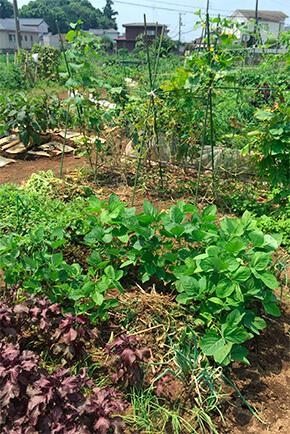 義母の畑。賑やかに繁っているのは、ベテランのなせる技。有機露地栽培。