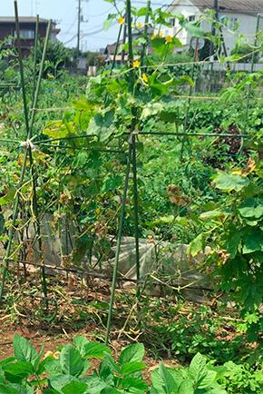 バジルは虫が食いやすいのと、強すぎる日当たりに弱いので、垣根立ての作物(キュウリやトマトなど)の間に植え、葉影を作ってやるとよい。